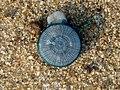 (Porpita porpita) Blue button at Thotlakonda Beach 09.JPG