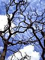 Árvore seca durante período seco do bioma cerrado..jpg