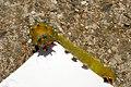 Большой ночной павлиний глаз - Saturnia pyri - Giant Peacock Moth - Голямо нощно пауново око - Wiener Nachtpfauenauge (35801609211).jpg