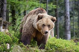 Ведмідь у лісі.jpg