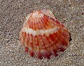 Гребешок черноморский - Flexopecten glaber ponticus (31701454371).jpg
