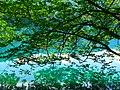 Деревья над водой Нижнего голубого озера. Кабардино-Балкария.jpg