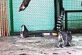 Київський зоопарк Лемури котячі 09.JPG