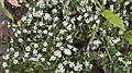 Кущ з жорсткими листочками й квіточками на п'ять пелюсток у Воєводино.jpg