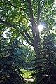 Полтава, Першотравневий проспект, 10 2 дуба на території аграрного коледжу. P1230783.jpg