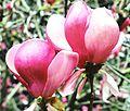 Цветок магнолии.jpg
