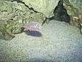 טטרה מקסיקנית Astyanax mexicanus .jpg