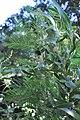 აკაცია მერქანშავი Acacia melanoxylon Schwarzholz-Akazie.JPG