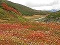 チングルマの花畑 - panoramio.jpg
