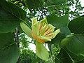 北美鵝掌楸 Liriodendron tulipifera -維也納大學植物園 Vienna University Botanical Garden- (28052723521).jpg