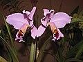 卡特蘭屬 Cattleya percivaliana -香港沙田國蘭展 Shatin Orchid Show, Hong Kong- (9200878924).jpg