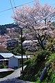 吉野山中千本にて 2014.4.15 - panoramio.jpg