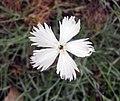 常夏石竹 Dianthus plumarius -比利時 Ghent University Botanical Garden, Belgium- (9229879006).jpg