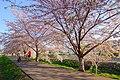 新川さくら並木(Shinkawa cherry trees) - panoramio.jpg