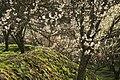 最光院 つくばの里 梅まつり (愛知県豊田市日下部町) - panoramio - gundam2345 (4).jpg