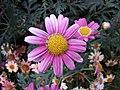 木茼蒿 Argyranthemum frutescens -香港花展 Hong Kong Flower Show- (25866828981).jpg