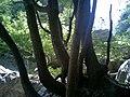 溪边的树木 - panoramio.jpg