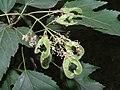 茶條槭 Acer ginnala -瀋陽植物園 Shenyang Botanical Garden, China- (9222668856).jpg
