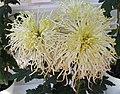 菊花-漁娘蓑衣 Chrysanthemum morifolium 'Fisherwoman in Straw Rain Cape' -香港圓玄學院 Hong Kong Yuen Yuen Institute- (11994933194).jpg