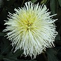 菊花-白針松 Chrysanthemum morifolium 'White Needle Pine' -香港圓玄學院 Hong Kong Yuen Yuen Institute- (12010293574).jpg