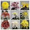 菊花 Chrysanthemum morifolium cultivars 16 -上海共青森林公園 Shanghai, China- (11980833626).jpg