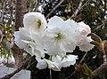 萬里香櫻 Cerasus serrulata Excelsa -日本京都植物園 Kyoto Botanical Garden, Japan- (41038839154).jpg