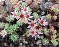 薄雪萬年草 Sedum hispanicum -哥本哈根大學植物園 Copenhagen University Botanical Garden- (36940925461).jpg