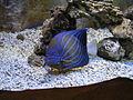藍環神仙.JPG