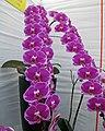 蝴蝶蘭-大財主 Doritaenopsis OX Spot Queen -香港花展 Hong Kong Flower Show- (33832953625).jpg