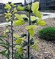 黃華屬 Thermopsis rhombifolia -比利時 Ghent University Botanical Garden, Belgium- (9213292297).jpg