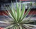 黄邊瀧之白絲 Agave schidigera f. marginata - panoramio.jpg