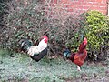 -2019-01-29 Rhode Island Red and Dorking chickens, Trimingham.JPG