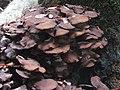 -2019-10-23 Honey fungi (Armillaria) around a tree stump, Pond plantation, Trimingham (1).JPG