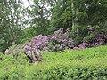 -2020-06-06 Common Rhododendron in bloom, Northrepps, Norfolk.JPG