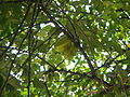 02922jfAverrhoa Tree Fruits carambolafvf 02.JPG