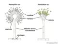 04 03 21a conidióforos, Aspergillus, Penicillium, Eurotiales, Ascomycota (M. Piepenbring).png