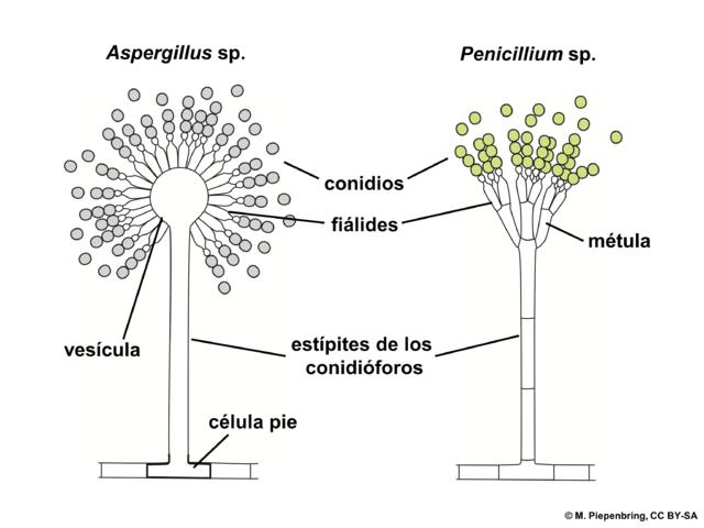 file 04 03 21a conidi u00f3foros  aspergillus  penicillium