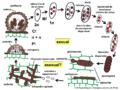 04 03 40 ciclo de vida, Meliolales, Ascomycota (M. Piepenbring & D. Rodriguez-Justavino).png