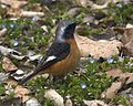 070320 Daurian redstart Q0S3802 - Flickr - Lip Kee.jpg