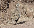 072 - MONTEZUMA QUAIL (10-19-12) parker cyn one mile from mexican border, scc, az -01 imm male - (9) (8719829810).jpg