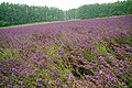 140726 Farm Tomita Nakafurano Hokkaido Japan03bs.jpg
