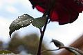 154 365 Perlas tras la lluvia Alternativa (5795679349).jpg