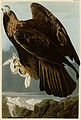 181 Goldon Eagle cropped.jpg