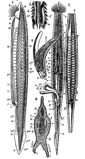 1911 Encyclopædia Britannica/Amphioxus - Wikisource, the free online ...