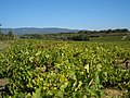 2005-09-17 Luberon vineyard.jpg