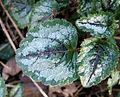2007-03-04Lamium galeobdolon01.jpg