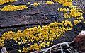 2011-11-23 Bisporella citrina (Batsch) Korf & S.E. Carp 184145.jpg