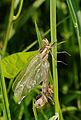 2012-06-14 15-04-14-anisoptera.jpg
