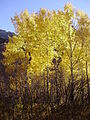 2012-10-17 506 Aspens in Lamoille Canyon.jpg