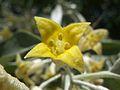 20120411 Elaeagnus angustifolia 01.jpg